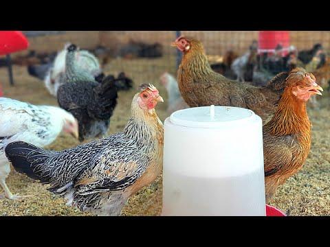 100 Desi Poultry Farming Business plann and Profit