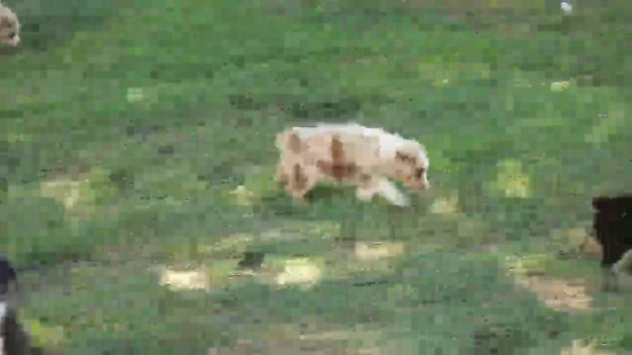Miniature Australian Shepherd Puppies For Sale David Miller