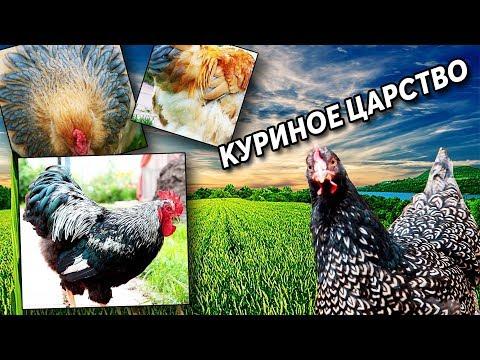 Породистые куры в подмосковном хозяйстве. Обзор породы Фавероль, и других кур.
