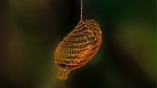 Repeat youtube video Nature's 3D Printer: MIND BLOWING Cocoon in Rainforest - Smarter Every Day 94