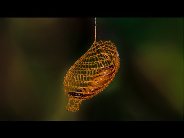 Nature's 3D Printer: MIND BLOWING Cocoon in Rainforest - Smarter Every Day 94