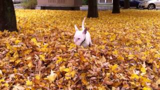 So Cute Young Bullterrier In Leaves