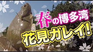 春の釣り!博多湾で花見カレイを狙う!