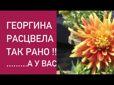 ГЕОРГИНЫ НАЧИНАЮТ ЦВЕТЕНИЕ!!!