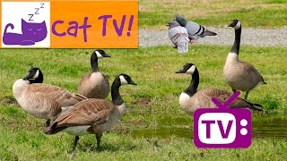 Cat TV - 30 min of Birds on the Grass Combined With Relaxing Music Engaging Visual TV For Cats Ep 7