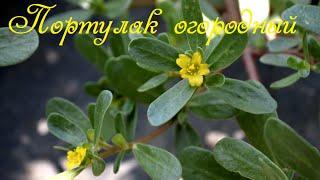 видео Портулак (60 фото): описание, сорта,  полезные свойства, применение в ландшафтном дизайне, сочетание с другими растениями