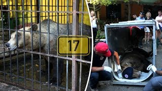 After This Bear Had Spent 17 Years In Cage, A Group Of Tourists Looked Into Its Awful Treatment