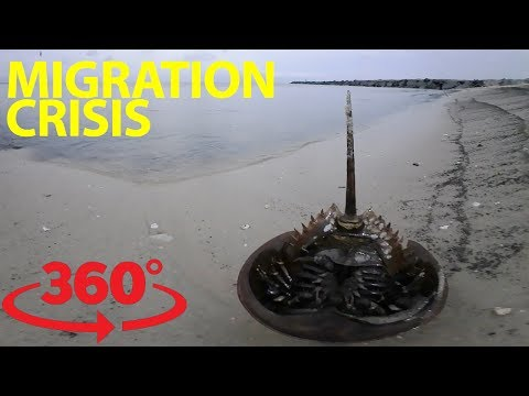 An epic migration and fight for survival on the Delaware Bay in VR