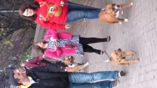 The Herefordshire Staffordshire Bull Terrier Club Bull Breed Awearness Charity Walk