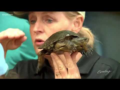 Woodland Park Zoo Releases Turtles Into The Wild In Lakewood
