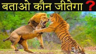 शेर और बाघ की लड़ाई में कौन जीतेगा Lion VS Tiger Fight and Science of Power