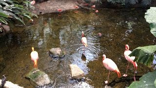 Flamingos standing on one leg in Pittsburgh Aviary
