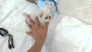 Micro Teacup Maltese Baby Tiara For Sale!