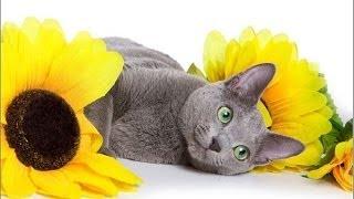 Как правильно кормить русскую голубую кошку