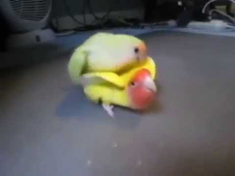 Love bird Kawin