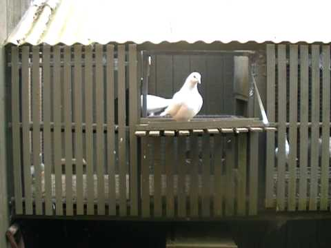 How to Keep Racing Pigeons