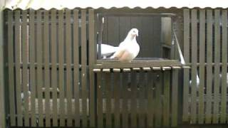HOW TO KEEP RACING PIGEONS SAFE FROM CAT ATTACK. NEW ZEALAND