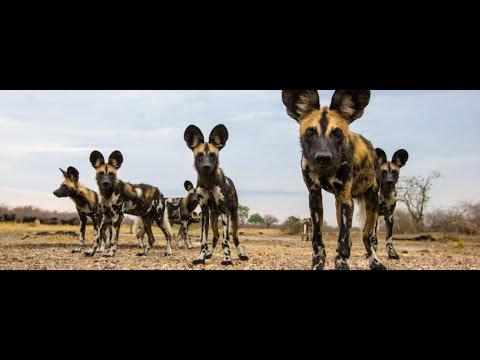 Wild Dogs : Best Animal Documentary