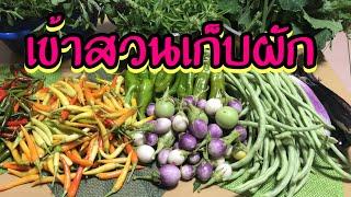 ปลูกผักไทยในต่างแดน เข้าสวนเก็บผักกันค่ะ16 สิงหาคม 2561 thumbnail