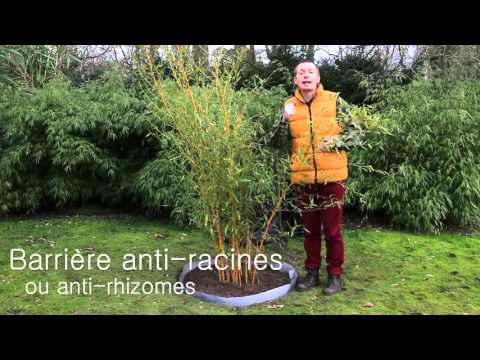 comment planter un bambou phyllostachys avec barri re. Black Bedroom Furniture Sets. Home Design Ideas