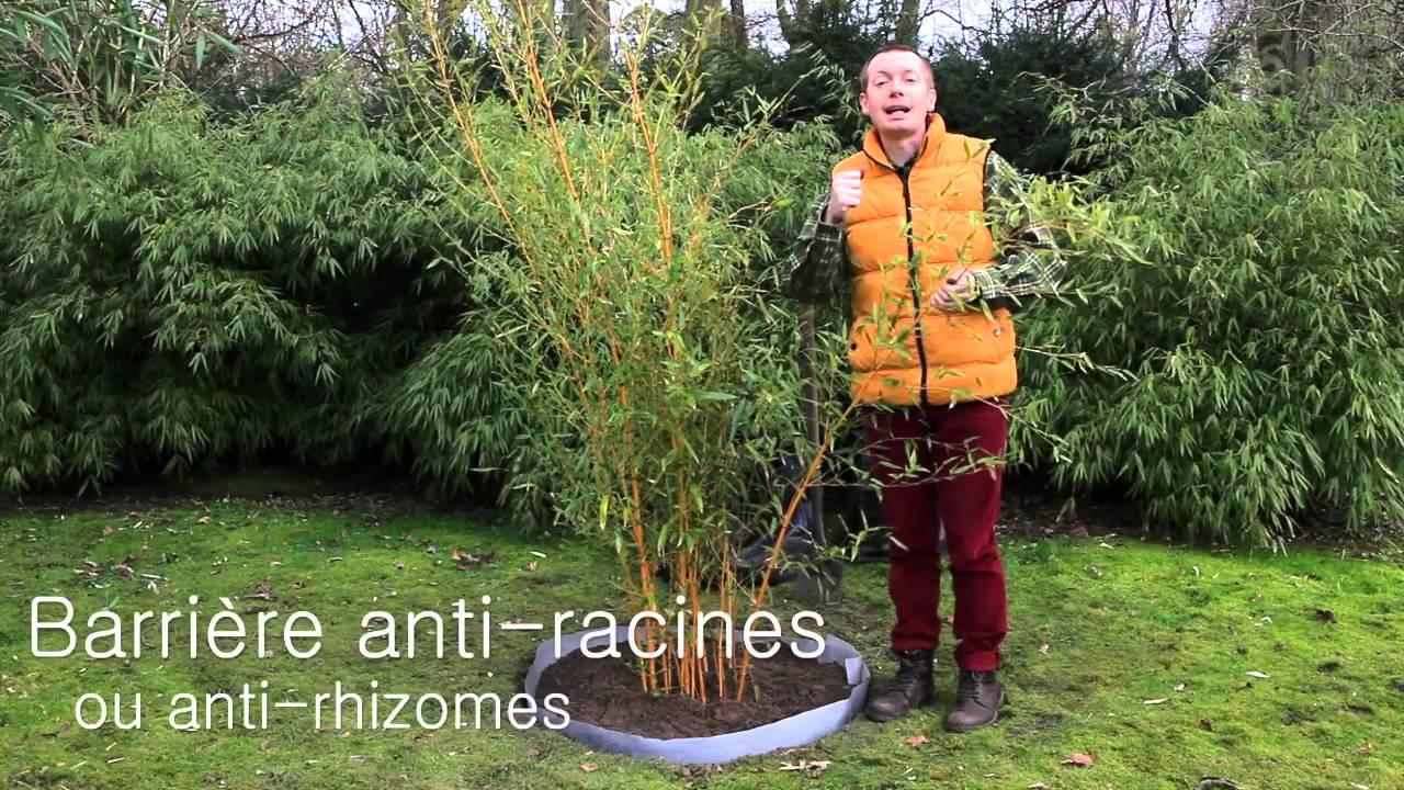 Comment planter le bambou