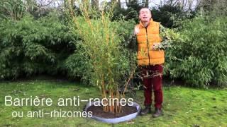 Comment planter un bambou Phyllostachys ? (avec barrière anti-rhizomes)