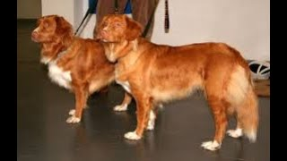 #174 NOVA SCOTIA DUCK TOLLING RETRIEVER   | Which Dog Should I Get? Dog Breed Selector