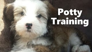 How To Potty Train A Powder Puff Puppy - Chinese Crested PowderPuff Training - Powder Puff Puppies