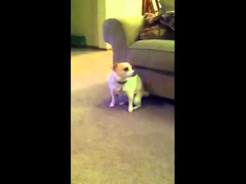 So Funny Dancing Dog Shake that Ass For Me !