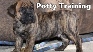 How To Potty Train A Perro de Presa Canario Puppy - House Training Perro de Presa Canario Puppies