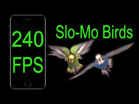 Parakeets Flying in Slow Motion [240 FPS]