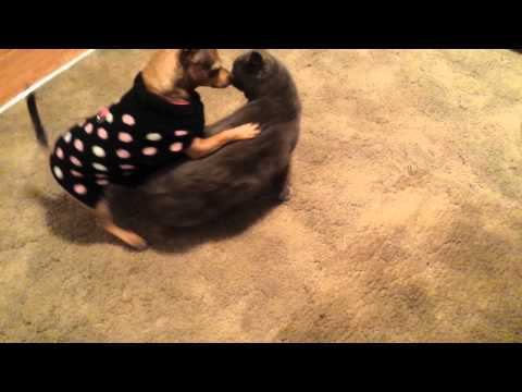 Dog vs Cat play fight