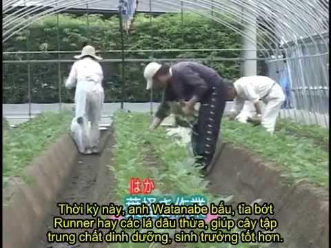(Việt sub) Kỹ thuật trồng dâu tây theo phong cách Nhật Bản