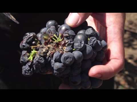 Botrytis - English