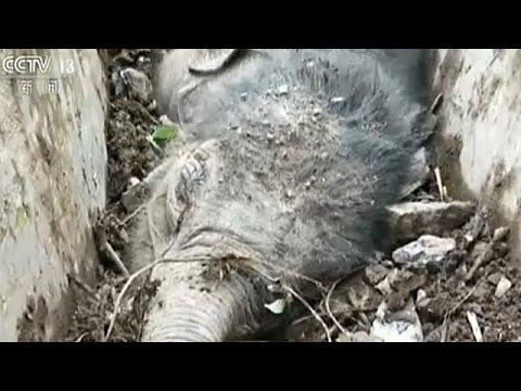 إنقاذ فيل صغير عالق في قناة تصريف جنوب الصين  - نشر قبل 58 دقيقة
