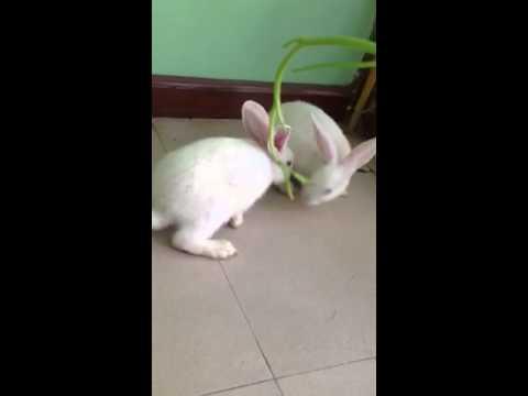 2 con thỏ gặm cỏ