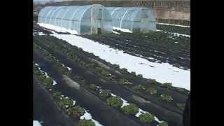 17 соток под клубнику.(В Чамлыкской клубнику выращивают целыми сотками. Ягоды собирают круглый год., 2014-04-04T18:24:20.000Z)