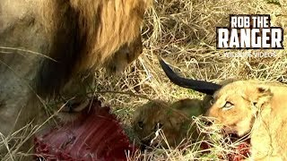 Lion Pride With A Nyala | Archive Footage | Mapogo Lion