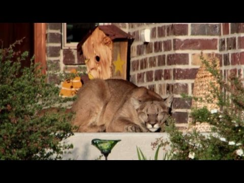 Neighbors Shocked To Discover Mountain Lion Taking A Cat Nap
