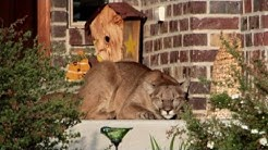 Neighbors Shocked To Discover Mountain Lion Taking A Cat Nap On Porch