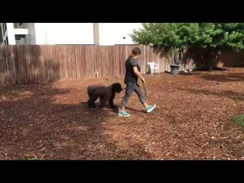 Elke | Bouvier | Obedience Around Dogs