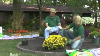 Hardy mum Planting and overwinter care.mp4