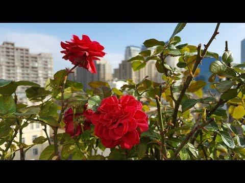 Розы и железный купорос
