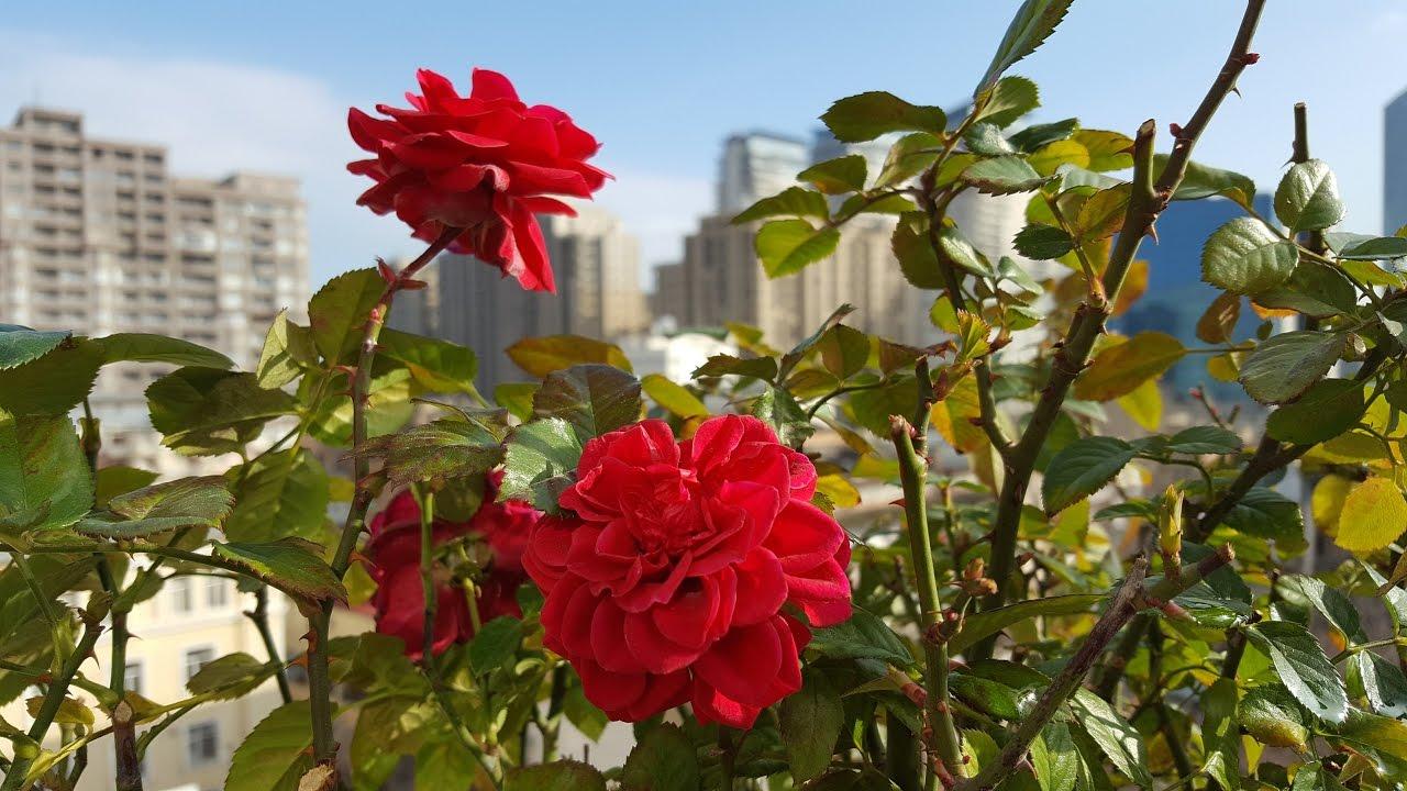 как развести железный купорос для обработки роз