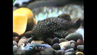 """Аквариумные рыбки. ( из канала """"VS""""- Рыбалка )"""