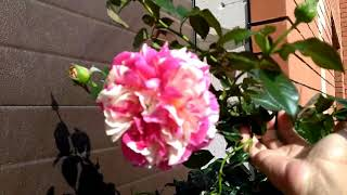 Zapętlaj Огород на Севере. Розы на конец августа. Часть 1.   В гостях у начинающего садовода
