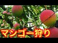 【贅沢】ブラジルでマンゴー狩り!(2回目) Apanha de Manga no Brasil