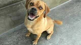 Champ (a252222) Pug/beagle Mix Adopted