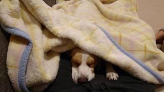 Beagle #ビーグル #うぃるさん たまにはおやじの足で寝るか… … … … え...