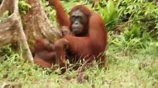 Baby Orangutan Refuses to Let Parents Have Sex